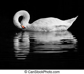 Swan reflection - A handsome Swan preening on a tranquil...
