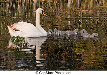 swan reflection with seven cygnets