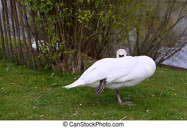 Swan resting in the grass