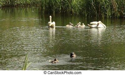 swan - sea