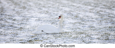 swan sits in snow covered grassy meadow