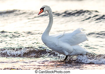 swan standing in water