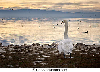 Swan standing on the shore of a lake