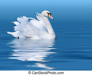 Swan - Noble swan with reflection in the blue water