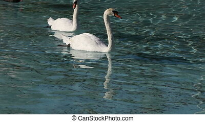 swan and ducks in the a lake