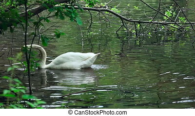 Swan. - Swan on the lake.