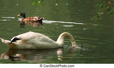 Swan. - Swan on the lake.