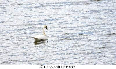 Swan swim on smooth water level with sun reflections and sparkles