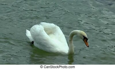 Swan swimming and feeding in a lake.
