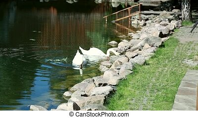 swan swimming in the lake Ukraine