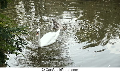 Swan swims in a pond