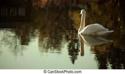 swan swims on the lake