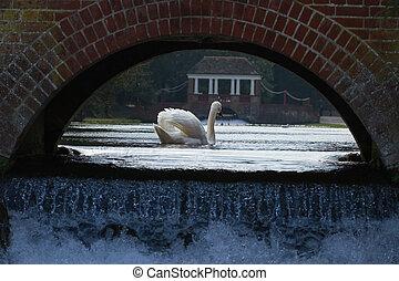 Swan under a bridge
