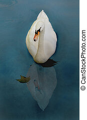 Swan whit reflection