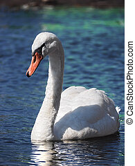 Swan white swimming at the water