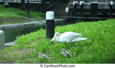 Swan with little cygnets are walking along the bank of the river in the city park.