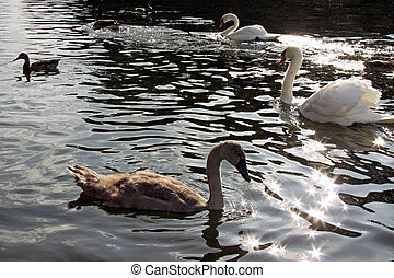 Swans and cygnets swimming on a calm river