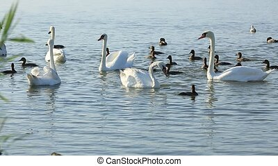 Swans and ducks float on the lake