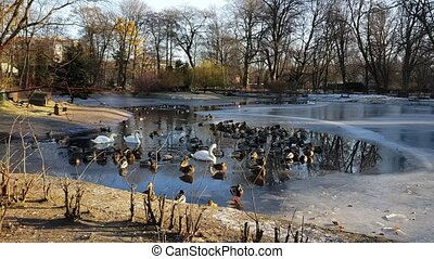Swans and ducks in the water