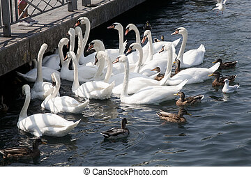 Swans and Ducks on Lake Geneva, Switzerland