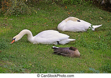 swans and goose rested in the grass