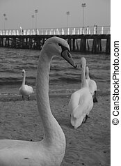 swans and pier - B&W