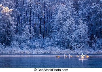 Swans at sunrise on winter lake