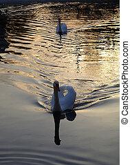 Swans at sunset on lake