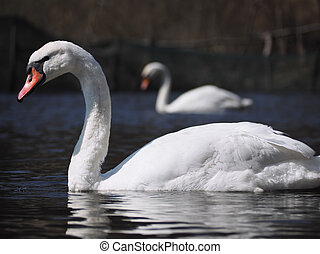Swans at the blue lake