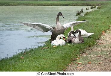 Swans at the lake