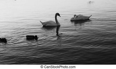 Swans at the river Danube in black and white videography