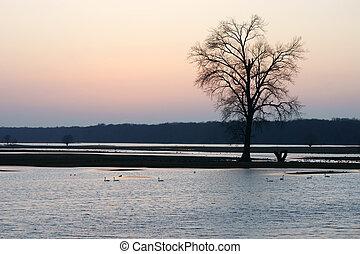 Swans at the sundown