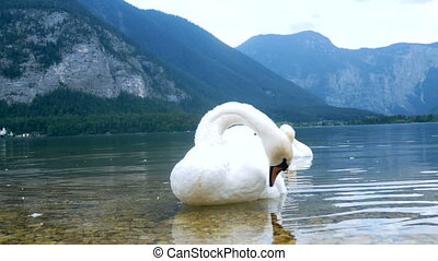 Swans bird lake mountains nature - Swans are swimming on a...