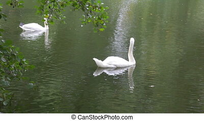 Swans float on the lake