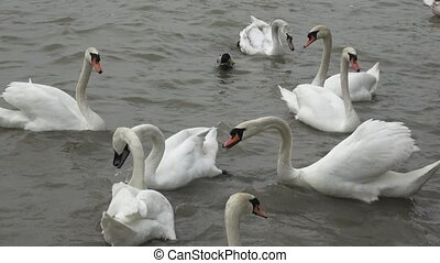Swans float. White swans. Water bird species.