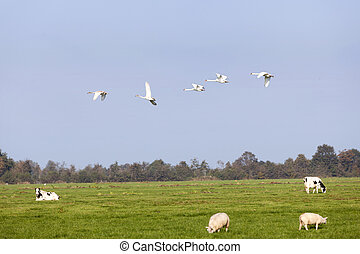 swans fly over green meadow with sheep and cows in holland