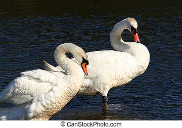 Swans, Forever Together,