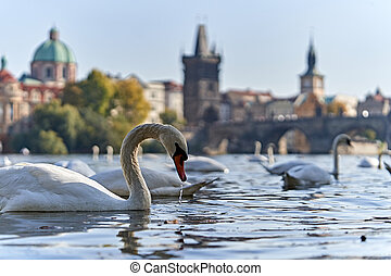 Swans in a lake in Prague