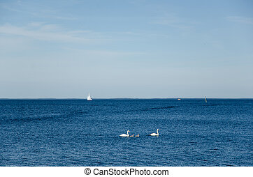 Swans in blue water