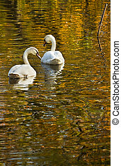 Swans in fall