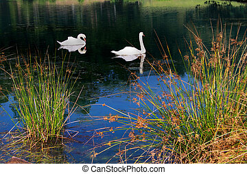 Swans in the beautiful pond