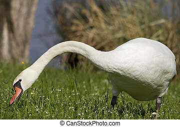 swans in the grass