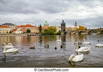 Swans near Charles Bridge in Prague