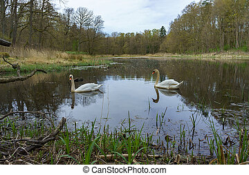 swans on a natural reservoir in the forest, two white swans