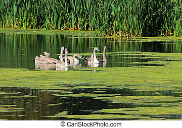 swans on a pond in the countryside surrounded by greenery