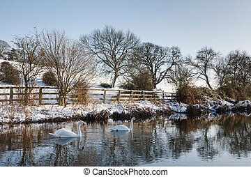 Swans on a river in winter