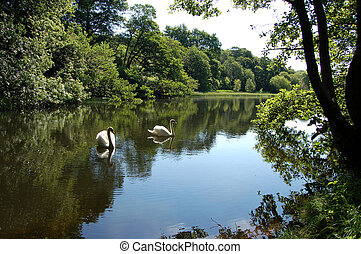 Swans on Craigton Pond - Pairof Mute Swans on a small...