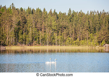 swans on forest lake