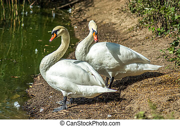Swans on pond shore