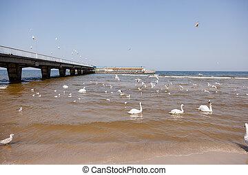 Swans on the beach